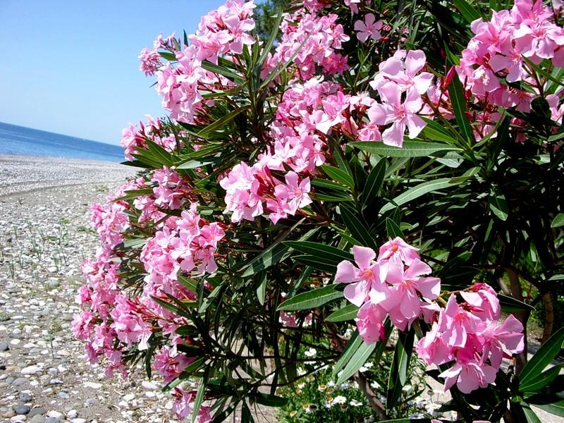олеандр розовый